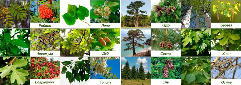 лиственные деревья россии фото и названия очень