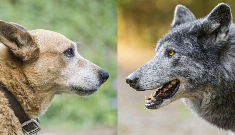 Игра «Облава на волка»